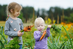 Urocze małe dziewczynki podnosi marchewki Zdjęcie Royalty Free