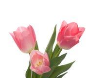 urocze menchie trzy tulipanu Zdjęcie Stock