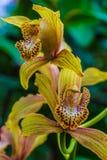Urocze orchidee Zdjęcia Stock
