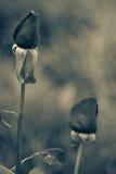 urocze róże Zdjęcie Royalty Free
