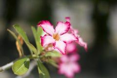 Uroczy Ładny menchii pustyni róży kwiat Zdjęcia Stock