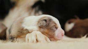 Uroczy bezbronny szczeniak śpi blisko baraniego psa zdjęcia royalty free