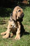 Uroczy bloodhound szczeniaka obsiadanie w ogródzie Fotografia Stock