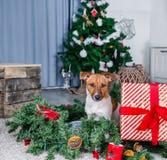 Uroczy boże narodzenie pies zdjęcia royalty free