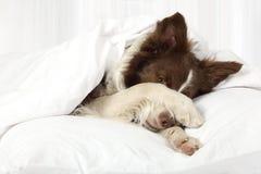 Uroczy Border Collie psa lying on the beach na łóżku pod koc obrazy royalty free
