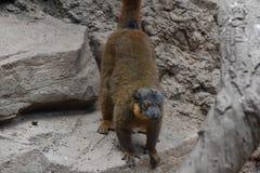 Uroczy Brown Kołnierzasty lemur na skale Zdjęcia Royalty Free