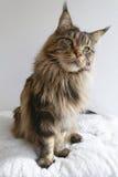 Uroczy brown tabby Maine Coon kot z długimi zwartymi ryś poradami Obraz Stock