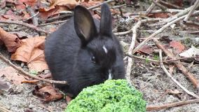 Uroczy czarny dziecko królika królik przy Jerychońską plażą, Kanada, jesień 2018 zbiory wideo