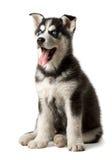 Uroczy czarny i biały z niebieskiego oka husky szczeniakiem zdjęcia royalty free