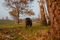 Uroczy czarny mops, piękna psia pozycja na łące podczas zmierzchu, wśród drzew zdjęcia royalty free