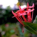 Uroczy czerwień kwiaty Obrazy Royalty Free
