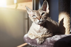 Uroczy Devon Rex kot siedzi na chrobotliwej poczta póżniej ma aktywność, używać scratcher, relaksuje Obraz Royalty Free