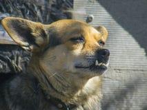Uroczy domowy pies z dużym zębu zakończeniem obrazy royalty free