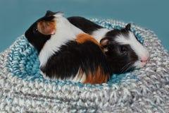 Uroczy dwa amerykańskiego królika doświadczalnego tricolored z zawijasem na głowie Zdjęcie Stock