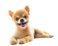 Uroczy działanie pomeranian szczeniaka pies odizolowywał białego tło Fotografia Stock