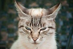 Uroczy gniewny kot z niebieskimi oczami i pasiastym futerkiem obrazy royalty free