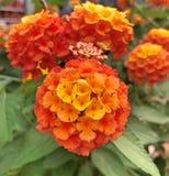 Uroczy grono pomarańczowi lantana kwiaty zdjęcie stock