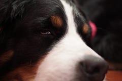 Uroczy i pi?kny zako?czenie w g?r? portreta Bernese g?ry pies jego odpoczywa? zdjęcie stock