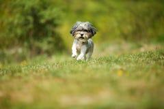 Uroczy i szczęśliwy Bichon Havanese pies z lata ostrzyżenia bieg przez pięknej, zielonej polany na jaskrawym słonecznym dniu, obrazy royalty free
