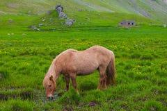 Uroczy Islandzki koń w polu obraz stock