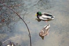 Uroczy kaczki pary dopłynięcie w jeziorze zdjęcie royalty free