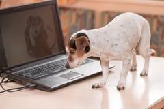 Uroczy komputerowy Jack Russell Terrier pies Niegrzeczny pies na stole fotografia royalty free