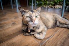 Uroczy kot kłaść w drewnianej podłodze obraz stock