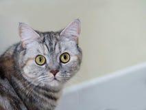 Uroczy kot patrzeje naprzód zdjęcia stock