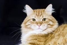Uroczy kot siberian traken, czerwona wersja Obrazy Royalty Free