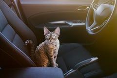 Uroczy kot siedzi wśrodku samochodu na kierowcy siedzeniu, patrzeje kamerę Zdjęcie Stock