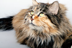 uroczy kota portret Zdjęcie Stock