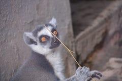 Uroczy lemur zdjęcia royalty free