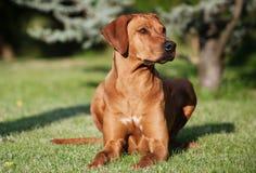 Uroczy młody Rhodesian Ridgeback kobiety pies Zdjęcie Royalty Free