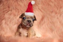 Uroczy mały amerykański łobuza Santa szczeniak bitting swój jęzor zdjęcia royalty free