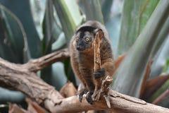 Uroczy Mały Brown Kołnierzasty lemur w naturze Obrazy Stock
