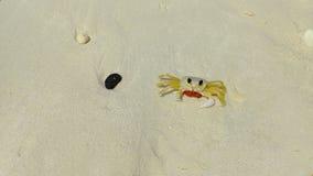 Uroczy mały plażowy kraba odprowadzenie na piasku Aruba, obrazy stock