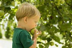 Uroczy mały preschool dzieciaka chłopiec łasowania zieleni jabłko na organicznie gospodarstwie rolnym zdrowa żywność Żniwa Odbitk Obrazy Royalty Free