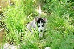 Uroczy mały szczeniak bawić się na zielonej trawie przy letnim dniem husky Obrazy Stock