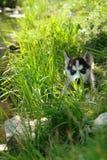 Uroczy mały szczeniak bawić się na zielonej trawie przy letnim dniem husky Obraz Stock