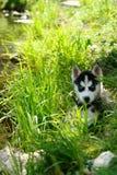 Uroczy mały szczeniak bawić się na zielonej trawie przy letnim dniem husky Zdjęcie Royalty Free
