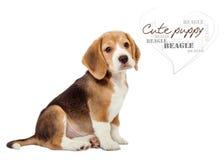 Uroczy mały beagle szczeniak na bielu Zdjęcia Stock