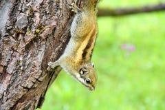 Uroczy mały squirrel1 Obrazy Royalty Free