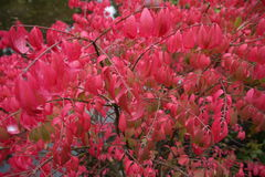 Uroczy menchia liście w jesieni Fotografia Stock