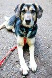 Uroczy mieszany trakenu pies z czerwonym smyczem ma bolaka obrazy stock