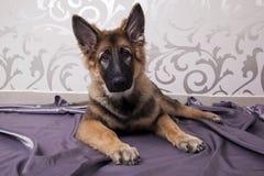 Uroczy Niemiecki Pasterski pies zdjęcia stock