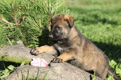 Uroczy niemieckiej bacy szczeniak w ogródzie Zdjęcia Royalty Free