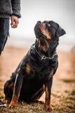 Uroczy Oddany Purebred Rottweiler fotografia royalty free