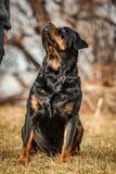Uroczy Oddany Purebred Rottweiler obraz stock