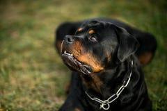 Uroczy Oddany Purebred Rottweiler fotografia stock