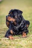 Uroczy Oddany Purebred Rottweiler zdjęcia stock
